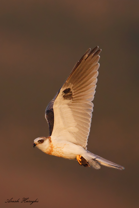 Juvenile White-tailed kite with prey