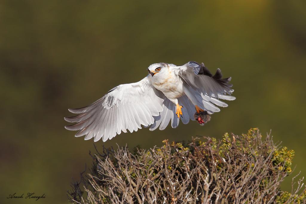 Juvenile white-tailed kite take off with prey