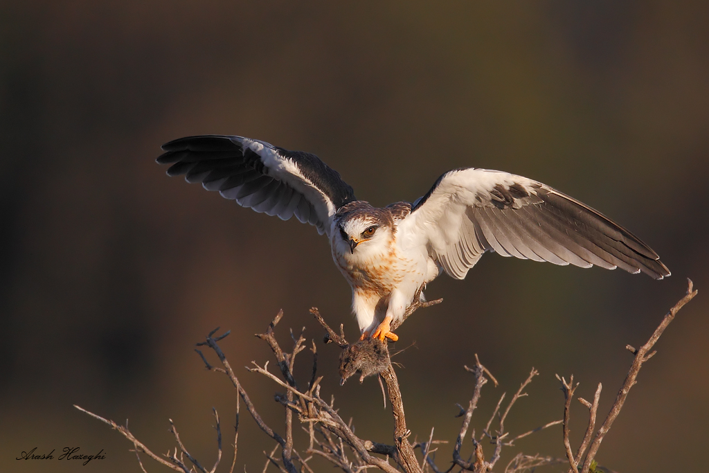 Juvenile white-tailed kite with vole
