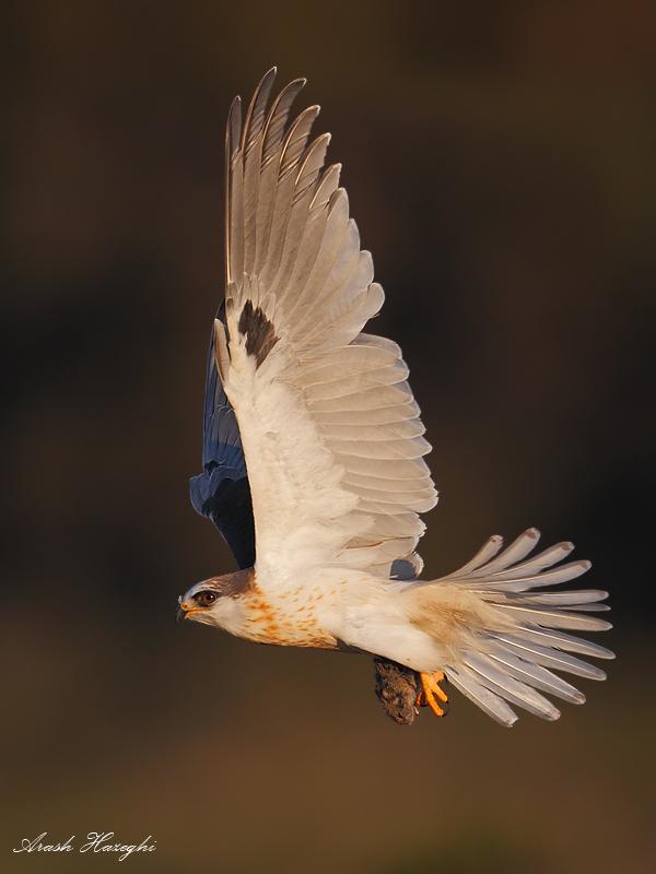 juvenile kite take off with prey