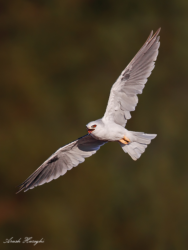 Adult kite calling