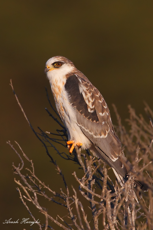 juvenile kite perched