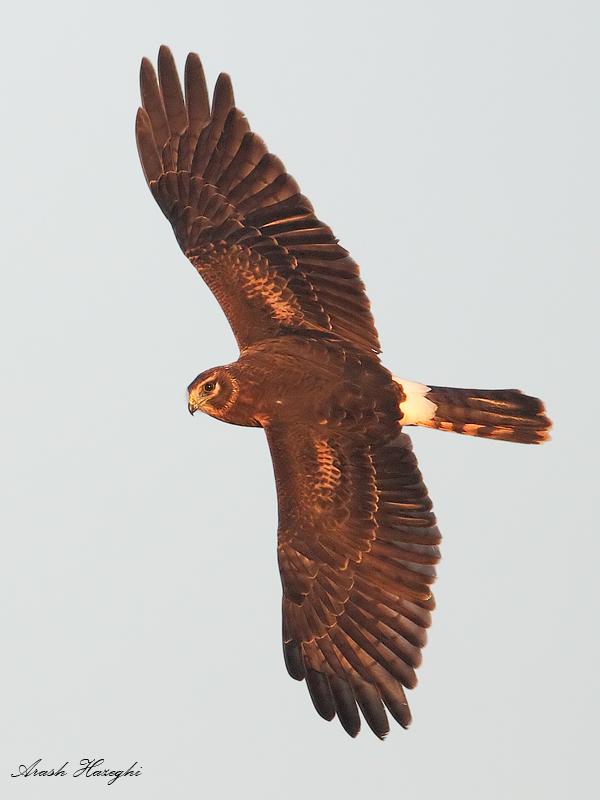 Female juvenile harrier