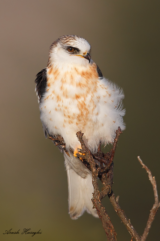 Juvenile white-tailed kite closeup
