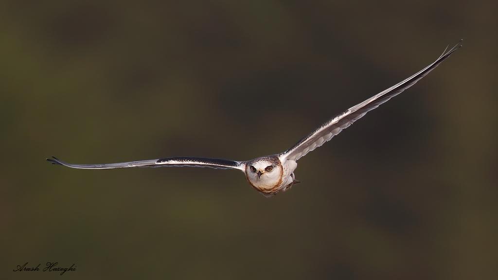 incoming juvenile white-tailed kite