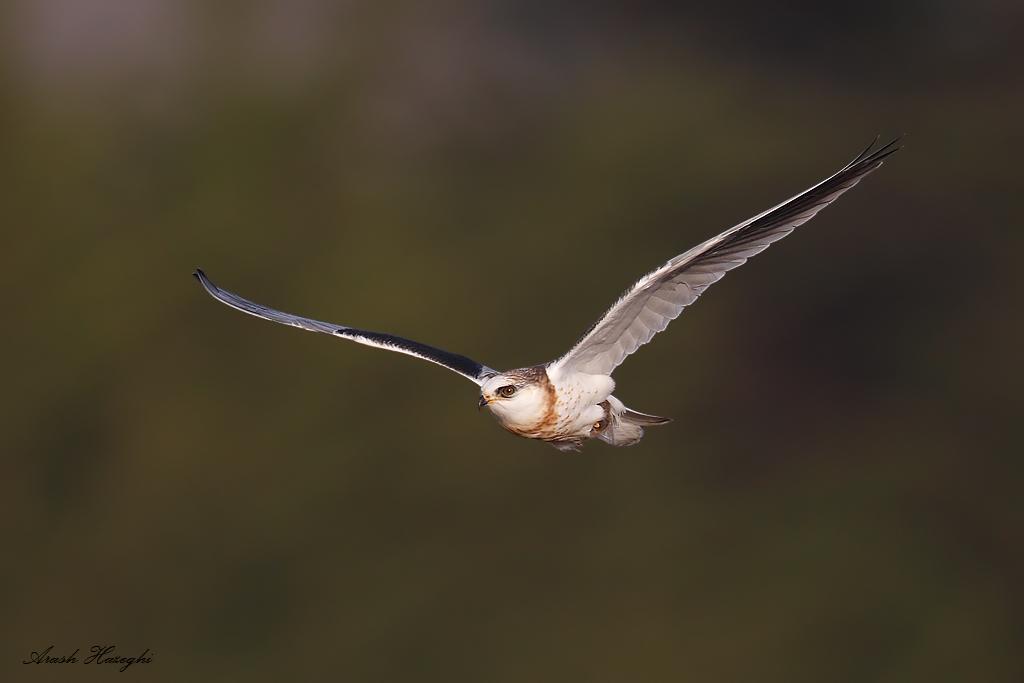 incoming juvenile kite