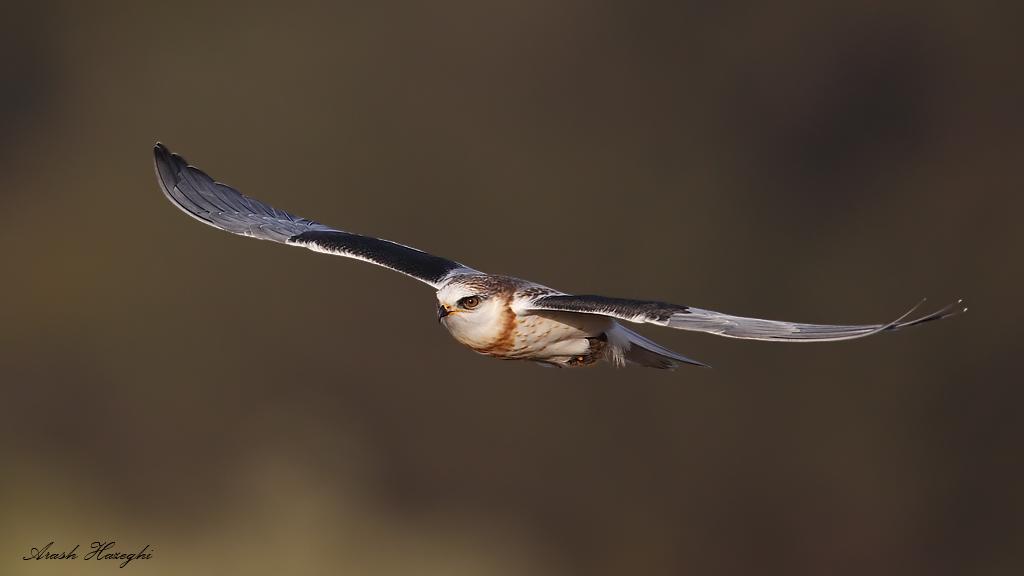 juvenile white-tailed kite