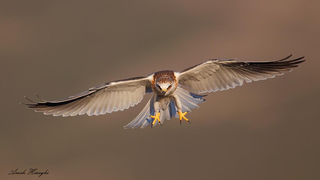 diving juvenile kite