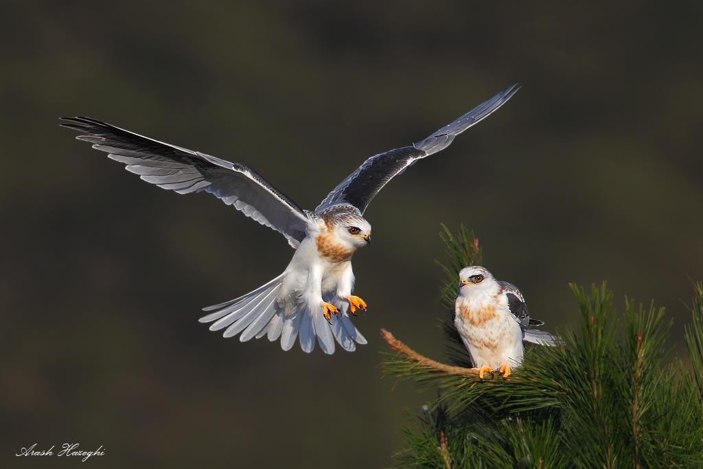 juvenile landing