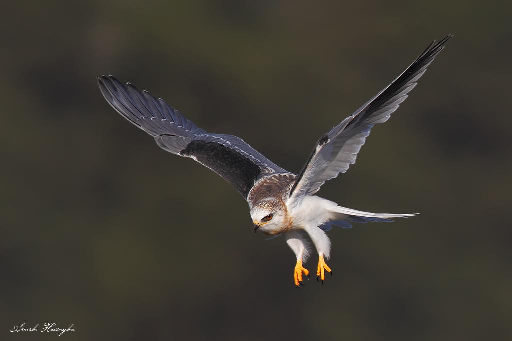 Diving white-tailed kite